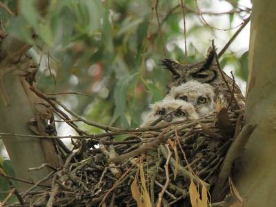 Photo: Stop the presses, we've got fluffy owlets
